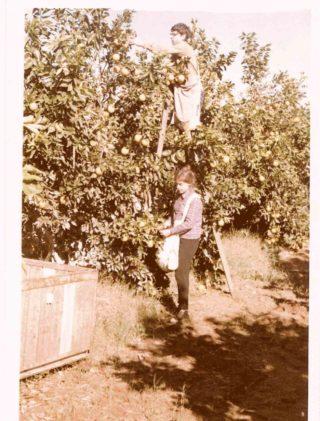 Jakub Gorfinkel zbiera pomarańcze w kibucu Kibutz Givat Brener, Izrael 1969 rok.